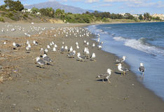 Seagulls in the beach Stock Photography