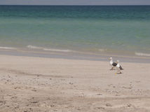 Seagulls on beach. Two seagulls walking and squawking on a beach in La Paz, Mexico Royalty Free Stock Photo
