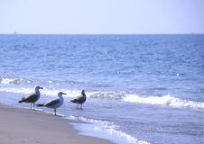 Seagulls on the beach. Three seagulls standing in front of the sea Royalty Free Stock Image