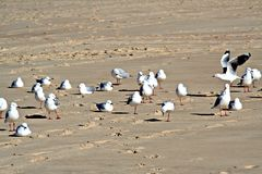 Seagulls on the beach. Group of seagulls on a beach Stock Images