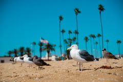 Seagulls on the beach around Long Beach, California. California is known as warm and nice wether. The world is big enough. To explore more royalty free stock image