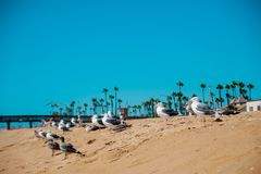 Seagulls on the beach around Long Beach, California. California is known as warm and nice wether. The world is big enough. To explore royalty free stock images