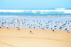 Seagulls at the beach at the atlantic ocean Royalty Free Stock Photos