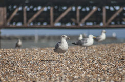 Seagulls on a beach in Brighton. This image shows some seagulls on a beach in Brighton. It was taken on a sunny day in August 2017. Only one of the birds is in Stock Images