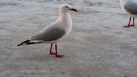 Seagulls on the beach. Seagulls on the beach during the day time stock video footage