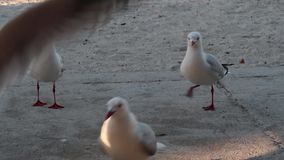 Seagulls on the beach. Seagulls on the beach during the day time stock footage