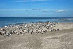 SeaGulls on Beach. Flock of Seagulls on the Beautiful Coastline of Anna Maria Island, Florida royalty free stock image