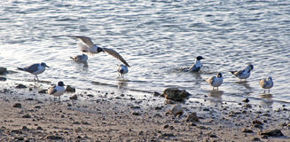 Seagulls at a beach Stock Photography
