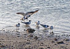 Seagulls at a beach Royalty Free Stock Images