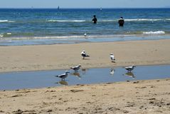 Seagulls on the beach in Frankston. Seagulls on the beach in front of the Pacific Ocean in Frankston, Australia, with swimmers in silhouette in the distance Royalty Free Stock Photos