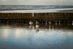 Seagulls at the beach in front of wooden wavebreaker Stock Photo