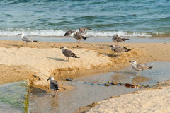 Seagulls on the Beach Stock Image
