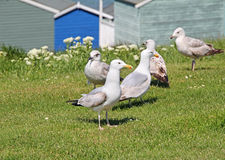 Seagulls and beach huts. Photo of kent coastal gulls in whitstable with beach huts in background Stock Photography