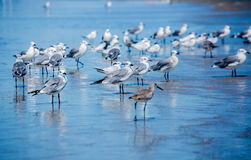 Seagulls on the Beach. Seagulls and other shorebirds stand in the receding waves along the beach shore Royalty Free Stock Photo