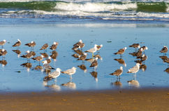 Seagulls on a Beach. By the Pacific Ocean in Lincoln City, Oregon Stock Photo