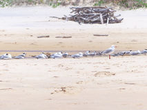 Seagulls on the Beach. Seagulls resting on the beach near a freshwater stream Royalty Free Stock Image