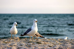 Seagulls on beach sand Royalty Free Stock Images