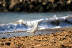 Seagulls on beach sand Stock Images