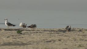 Seagulls on the beach stock footage