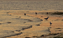Seagulls on a beach at sunset Royalty Free Stock Images