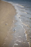 Seagulls on Beach in Surf Royalty Free Stock Image