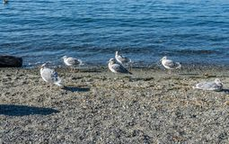 Seagulls On The Beach. A view of seagulls by the water at Seahurst Beach Park in Burien, Washington stock photos