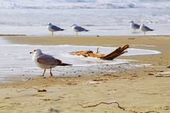 Seagulls on the beach Royalty Free Stock Images