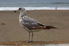 Seagulls on The beach. This seagulls was searching food on the beach Stock Photo