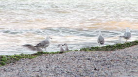 Seagulls on the beach stock video footage