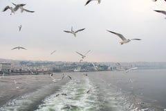 Seagulls. Royalty Free Stock Photo