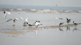 Seagulls on the beech. Flying. The waves in wind stock video