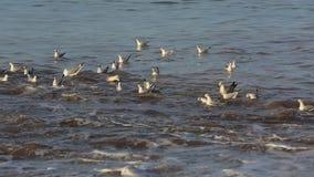 Seagulls bevattnar på stock video