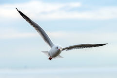 Seagulls bird Royalty Free Stock Images