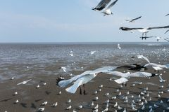Seagulls bird at the sea Bangpu Samutprakarn Thailand. Backgrounds stock photography