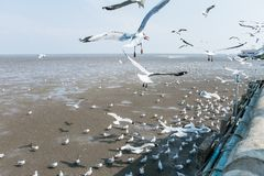 Seagulls bird at the sea Bangpu Samutprakarn Thailand. Backgrounds Stock Photos