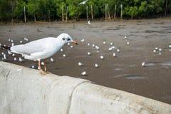 Seagulls bird at the sea Bangpu Samutprakarn Thailand. Backgrounds Royalty Free Stock Photos