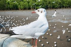 Seagulls bird at the sea Bangpu Samutprakarn Thailand. Backgrounds royalty free stock image