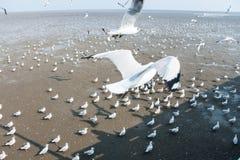 Seagulls bird at the sea Bangpu Samutprakarn Thailand. Backgrounds Royalty Free Stock Photography