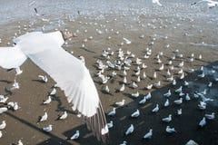 Seagulls bird at the sea Bangpu Samutprakarn Thailand. Backgrounds Royalty Free Stock Image