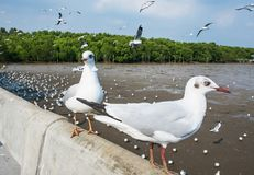 Seagulls bird at the sea Bangpu Samutprakarn Thailand. Backgrounds stock images
