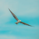 Seagulls birds Royalty Free Stock Image