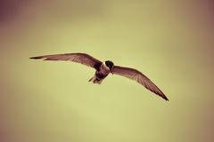 Seagulls birds Royalty Free Stock Photography