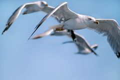 Seagulls fly alone wings flying in the blue sky royalty free stock photo