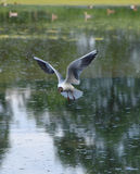 Seagulls birds flying over pond Stock Photos