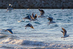 Free Seagulls, Birds In The Wild. Stock Image - 34825271
