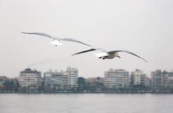 Seagulls. Royalty Free Stock Image