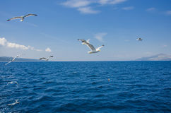 Seagulls and blue sea Royalty Free Stock Photography