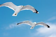 Seagulls in blue sky Royalty Free Stock Photo