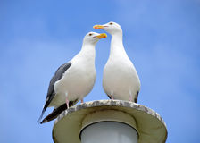 Seagulls and Blue sky. Two seagulls perch atop a light post in front of a beautiful clear blue sky Stock Images