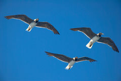 Seagulls in blue sky Stock Photo